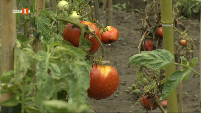 Българските домати - хит в Унгария