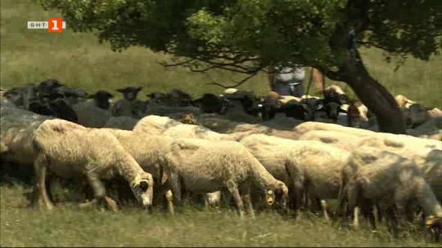 Защо един адвокат-фермер иска да си намали стадото от 900 на 300 овце?