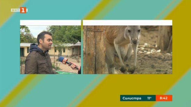 Дениз ще се казва бебето кенгуру в Софийския зоопарк