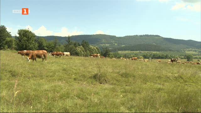 Планинското мляко и проблемите на фермерите в Балкана
