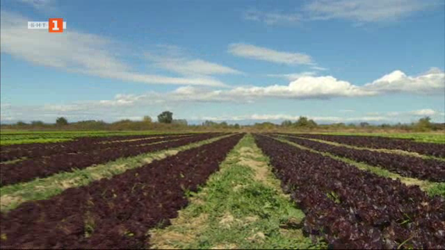 Как се отглеждат салати у нас?
