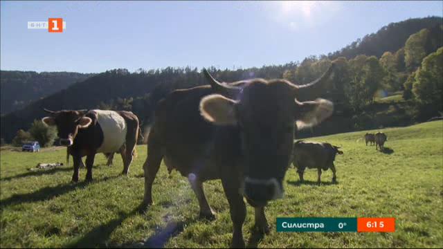 Съдбата на кравите в Швейцария се решава с референдум