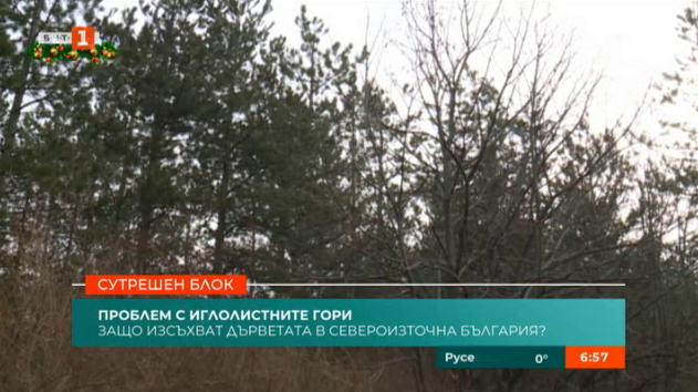 Изсъхват иглолистните гори в Североизточна България