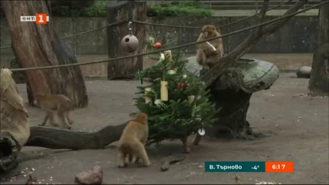 Коледните елхички - радост за животните в зоопарка