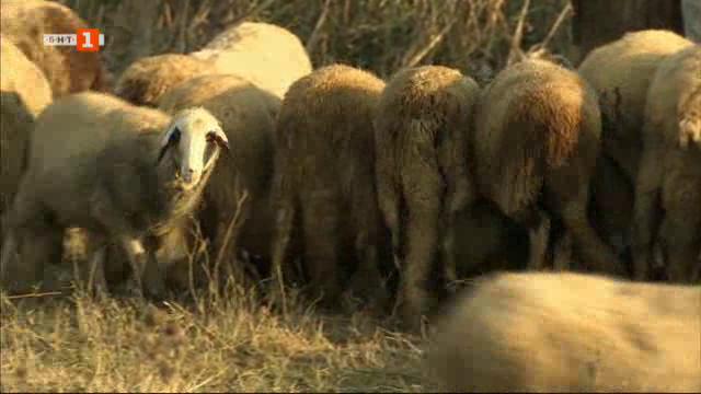 Как едно многодетно семейство се грижи за стадо от 170 овце?