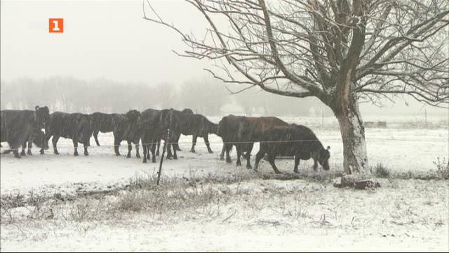 Историята на една печеливша ферма за биволи