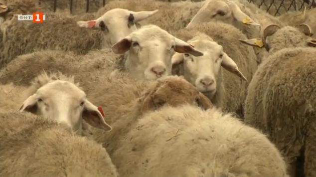 Науката и месодайното говедовъдство
