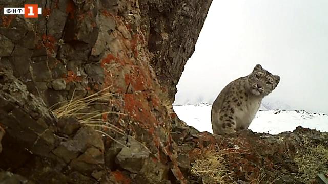 В защита на алтайските леопарди