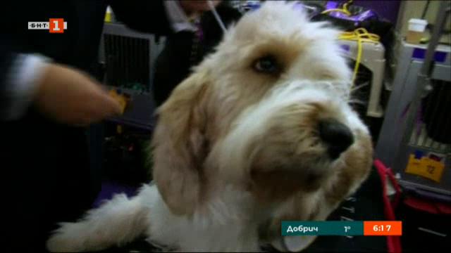 Най-престижното кучешко изложение в САЩ