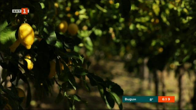 Сред лимоновите дръвчета
