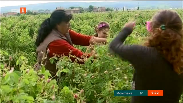 Закон ще гарантира качеството на българската маслодайна роза