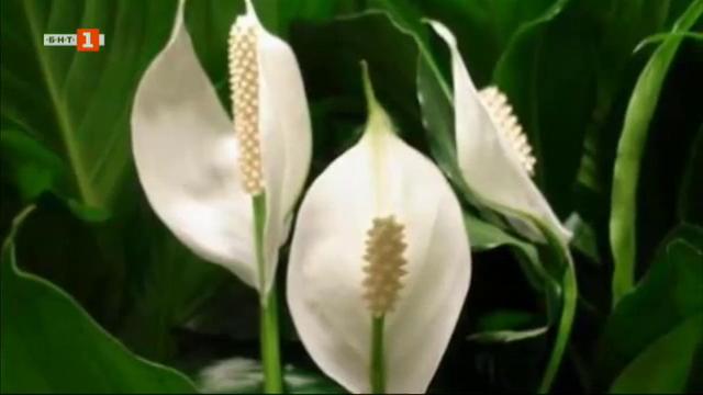 Кои са полезните и непретенциозни стайни цветя