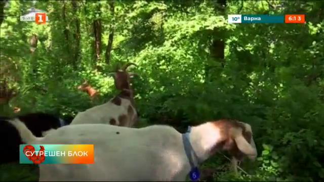 Кози в парка - хитро решение за справяне с плевелите