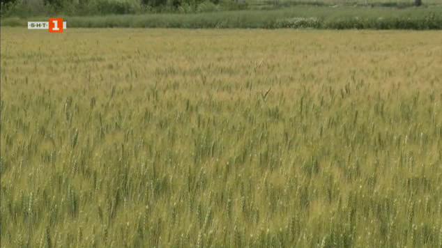 Проливните дъждове и напоените ниви с пшеница и царевица