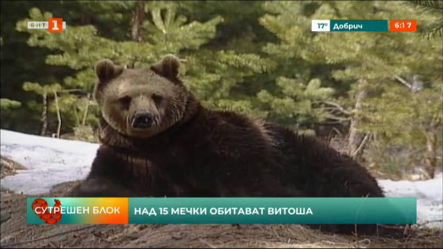Над 15 мечки обитават Витоша