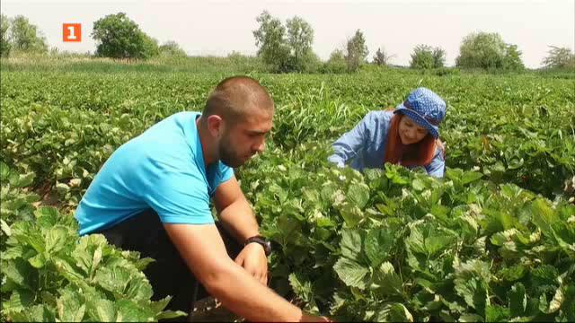 По следите на вкусните български ягоди