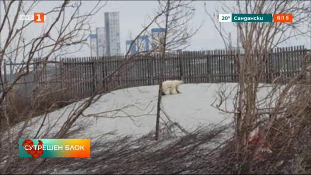 Руски еколози спасиха странстваща бяла мечка