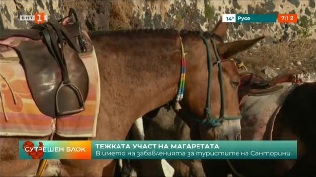 Зоозащитници протестират срещу тежката участ на магаретата на Санторини