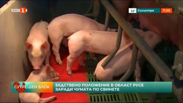 Бедствено положение в Област Русе заради чумата по свинете
