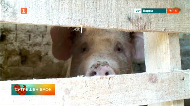 Напрежение в пловдивско село заради мерките срещу африканската чума по свинете