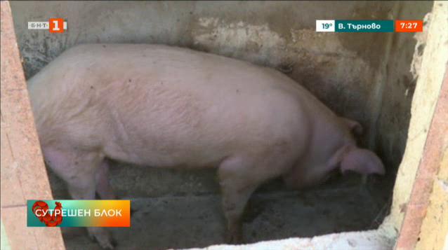 Купища документи за обезщетенията от чумата по свинете