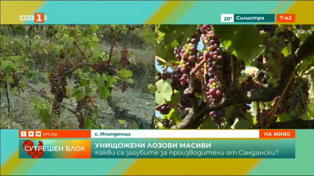 Какви са загубите на производители на грозде от Сандански?