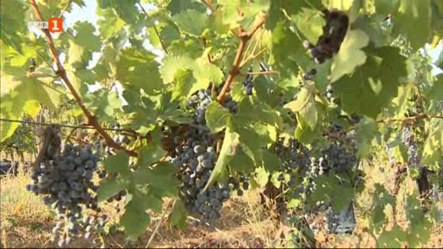 Време за гроздобер
