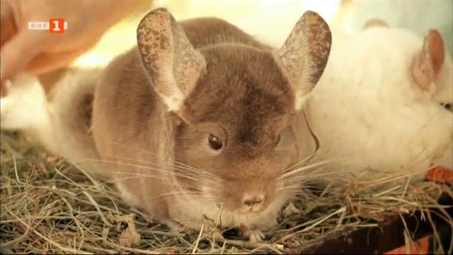 Спасяването на животни: Развъждането на чинчили и фермите за кожи