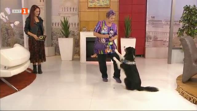 Веси Илиева и нейният балет от австралийски овчарки