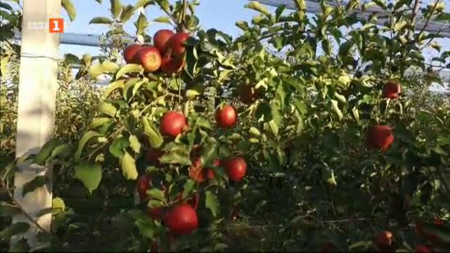 Модерна ябълкова градина в Грузия