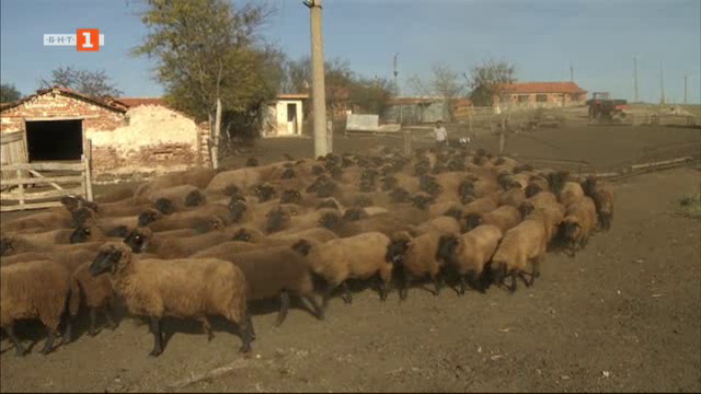 Карнобатската местна овца – най-древната порода у нас