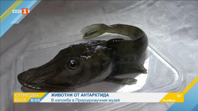 Ледена риба от Антарктида в Националния природонаучен музей