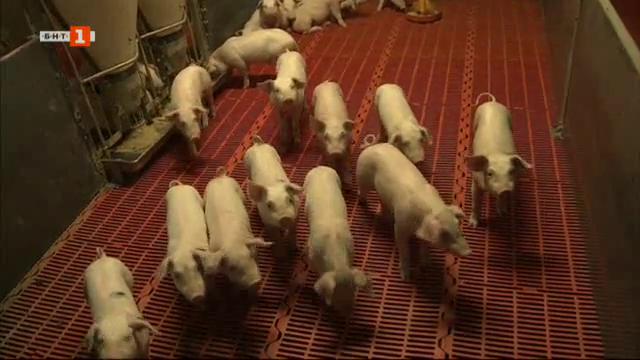 Африканската чума по свинете в България - какво загубихме?