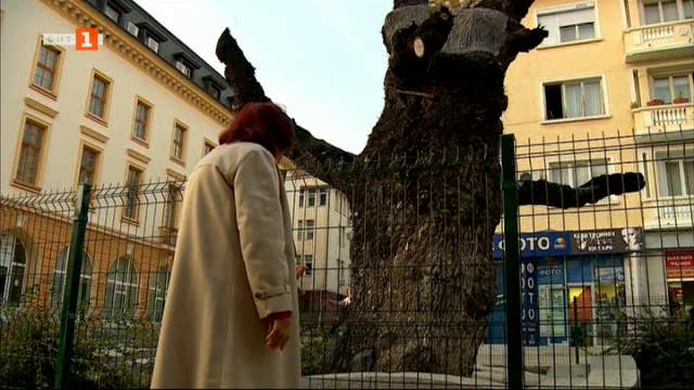 Старият бряст в Сливен - история на 1 000 години