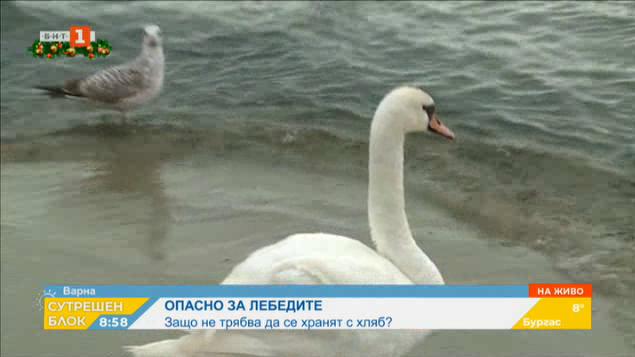 Лебедите, които зимуват край варненския бряг, вече пристигнаха