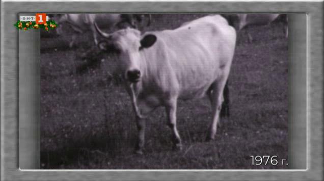 Как да се опази Искърското говедо от изчезване? (1976)