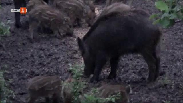 Русенски ловци твърдят, че резултатите за африканска чума по свинете се бавят