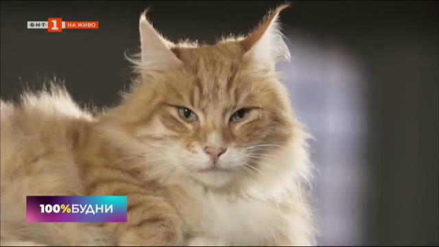 Международна изложба на породисти котки