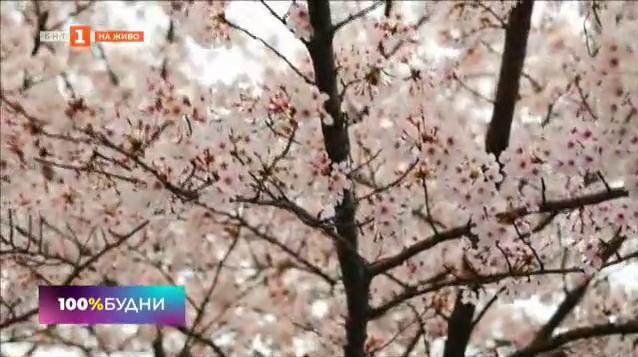 В Япония започна сезонът на цъфтежа на вишните сакура