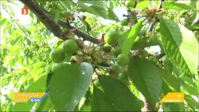 Как се събира в условия на пандемия реколтата от череши