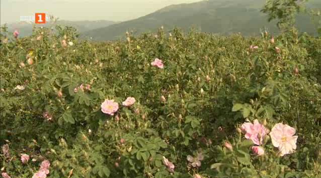 Ниска цена за розите