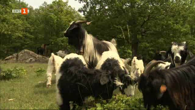Застрашена от изчезване порода кози в Калоферския Балкан