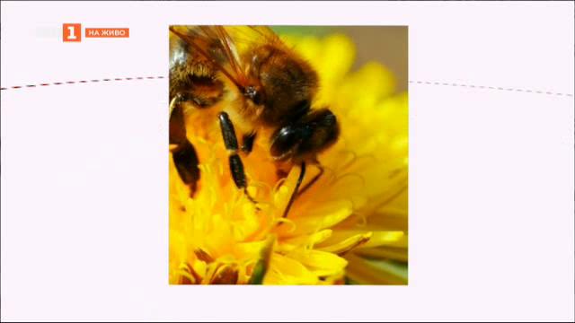 Градското пчеларство - възможност за спасяване на пчелите или опасност за хората