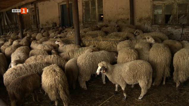 Несигурната съдба на стадо овце в Трънско