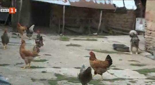 Лисици тормозят силистренски села
