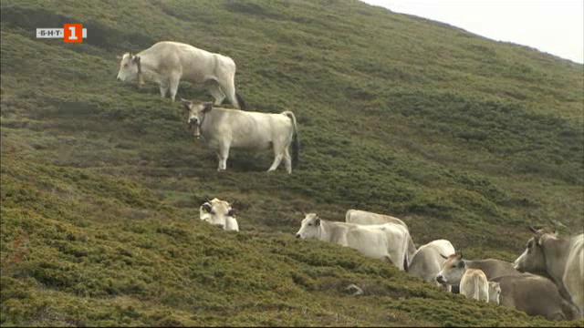 Лятната планинска паша на стадата
