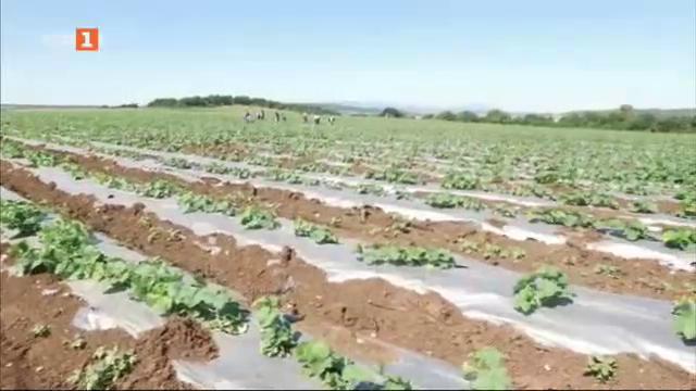 Производството на зеленчуци - как да избегнем рисковете