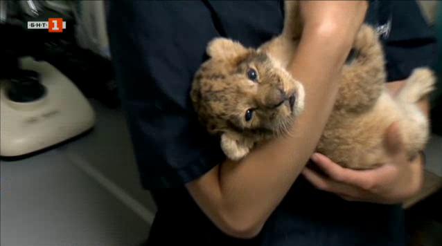 Как бяха спасени лъвчетата от благоевградския зоопарк