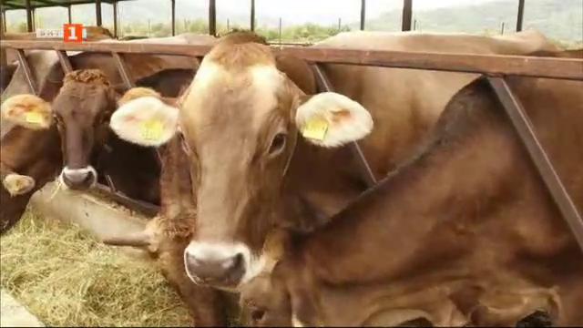 Колко мляко дават елитните крави в село Матани – Грузия