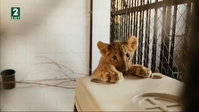 Задругата на лъвовете